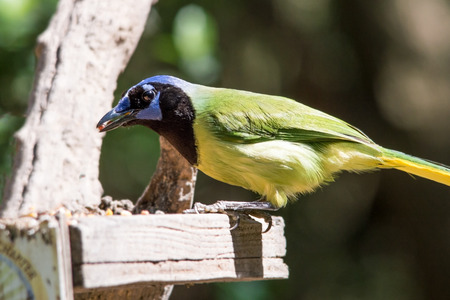 Green jay with a beak full of bird seed Stock fotó