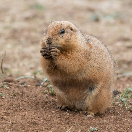 Prairie dog sitting up and eating with its front paws Banco de Imagens - 28367935