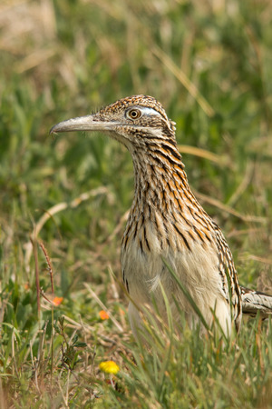Greater roadrunner looking around on a grassy field