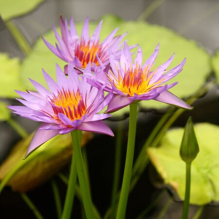 three pale violet water lilies photo