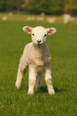 緑の草の好奇心の小さな子羊