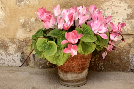 pink cyclamen in old pot  Stock Photo