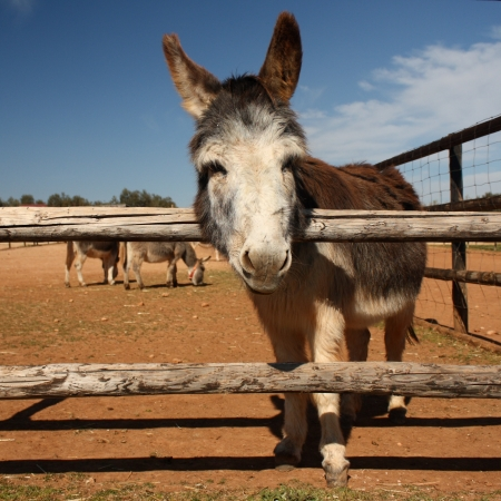 adorable little donkey on a farm photo