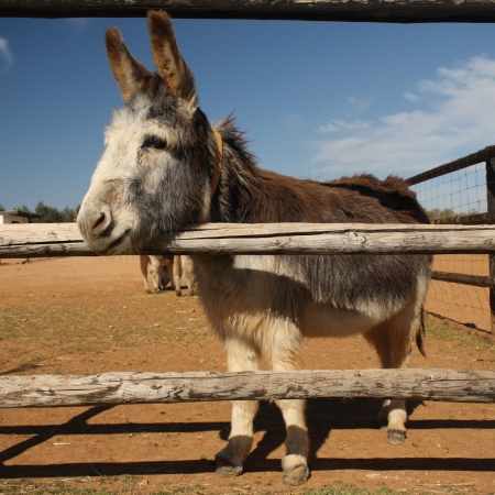 curious little donkey looking through fence