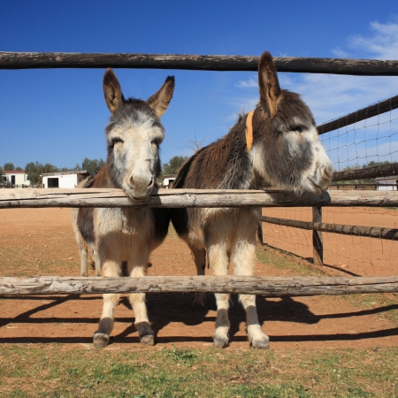 jack ass: two little donkeys on a ranch Stock Photo