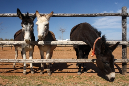 jack ass: three cute donkeys standing behind fence