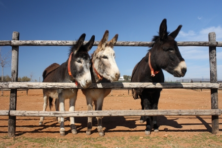 jack ass: three curious donkeys Stock Photo