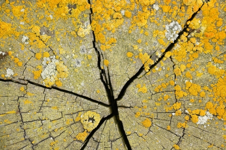 symbiotic: yellow lichens on cracked wood