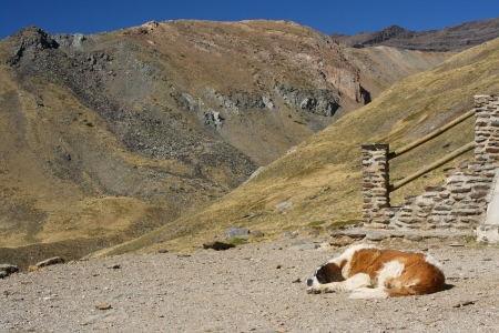 st  bernard: San Bernardo perro descansando en la ladera de Sierra Nevada