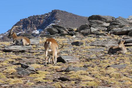 ibex ram: herd of Spanish Ibex grazing in Sierra Nevada National Park Stock Photo