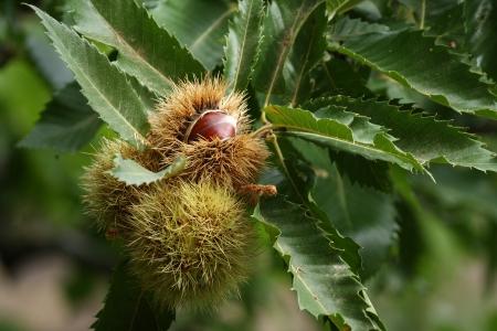detail of chestnuts in husks