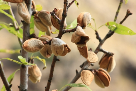 ripe almonds growing on tree
