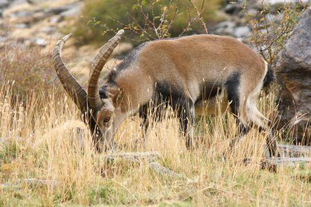 watchull male iberian ibex grazing photo