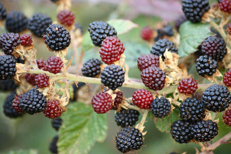ripe and unripe blackberries Stock Photo - 16193068