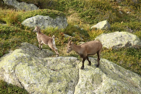 female chamois with baby in French Alps  Stock Photo