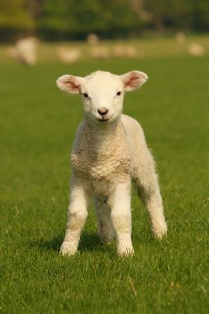 ovelha: cordeirinho curioso 2 Banco de Imagens