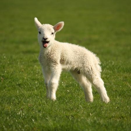 ovejas: corderito balando Foto de archivo