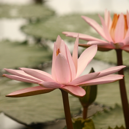 peacefulness: detail of pink water lily flower head