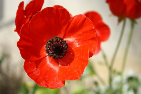 flowerhead: red poppy flower head Stock Photo