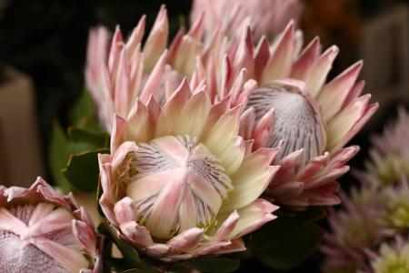 キングプロテア花 写真素材