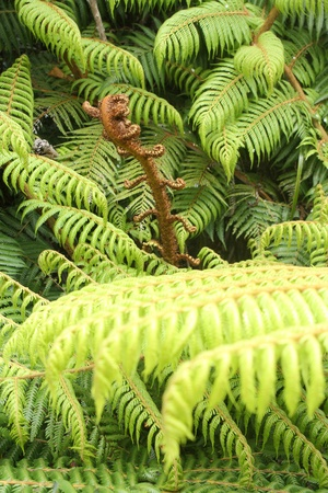 tropical native fern: fern fronds in rain forest in New Zealand Stock Photo