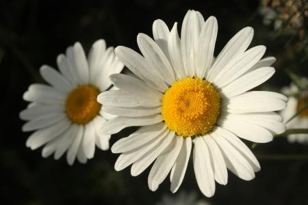 white marguerite flowers on black background