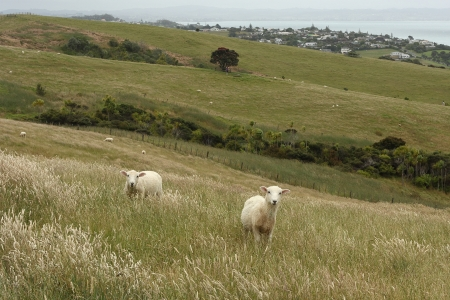 sheep grazing on New Zealand coast photo