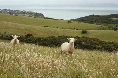 2 curious lambs Stock Photo - 17196561