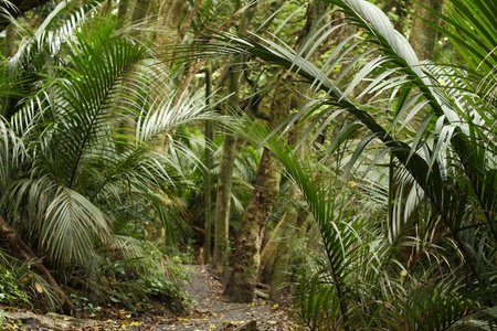 palm trees in rain forest in New Zealand photo