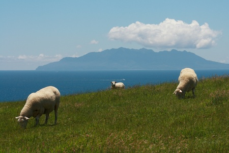 grazing sheep with Great Barrier Island in background photo