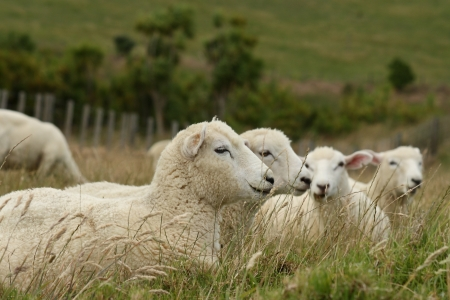 resting sheep photo