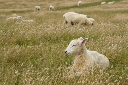 isolated sleepy sheep in grassfield photo