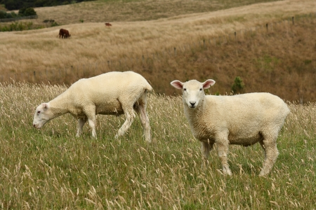 two sheared sheep grazing photo