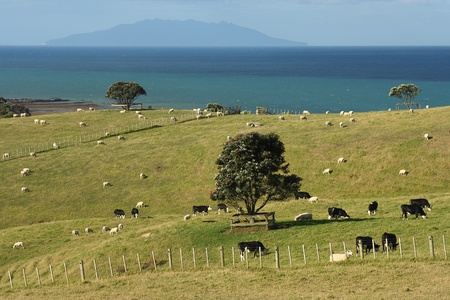 cattle grazing on green hills in New Zealand  photo