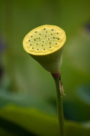 isolated lotus seed pod photo