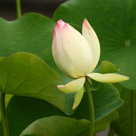 detail of nelumbo nucifera bud photo