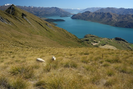 sheep grazing above lake Wanaka, New Zealand Stock Photo - 17865465