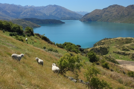 flock of sheep grazing above lake Wanaka