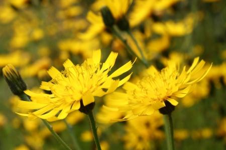 hawkweed: hawkweed flowers