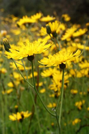 hawkweed: meadow with hawkweed flowers