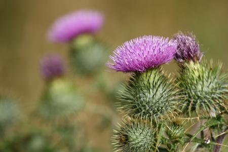 thistle flowers Stock Photo