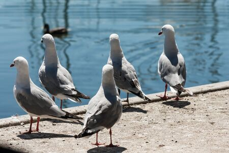 watchful: flock of watchful seagulls Stock Photo