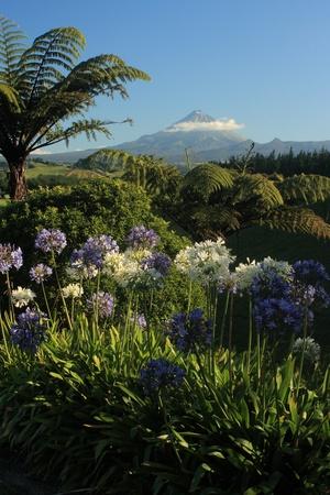 egmont: blue and white agapanthus flowers with Mount Taranaki in background Stock Photo