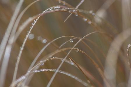 dew drops on grass blades photo