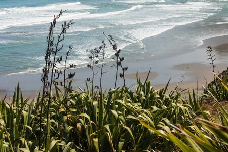 new zealand flax: Phormium tenax