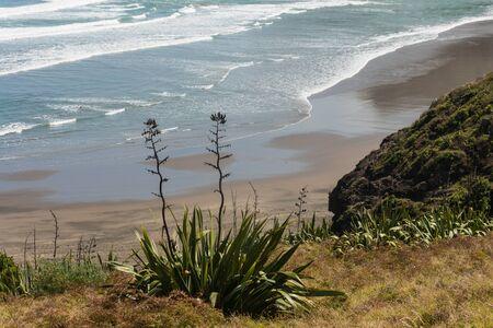 new zealand flax: New Zealand flax growing on coastal cliffs