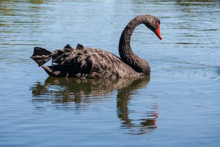 black swam Stock Photo - 18738502