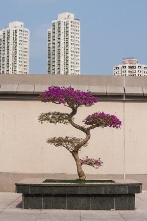 Bougainvillea bonsai in Sha Tin, Hong Kong photo