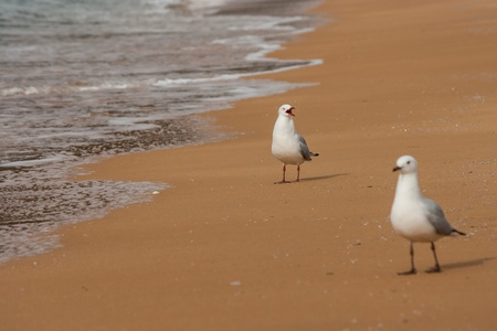 courting sea gulls photo