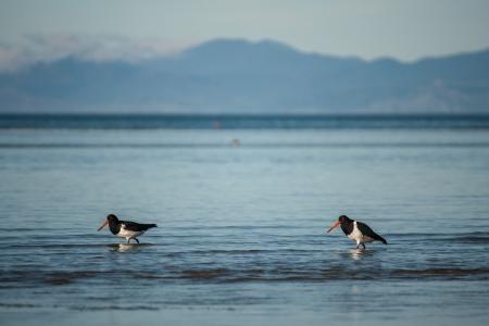 wading oystercatchers photo